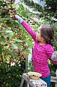 A little girl picking blackberries from a bush
