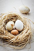 Fresh goose eggs and a hen's egg in a nest