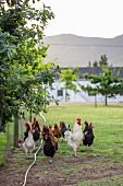 Cockerel with harem of hens on enclosed lawn