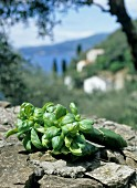 Basil on a stone wall in Liguria