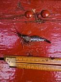 Garnele und Massstab auf rotem Holzuntergrund