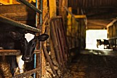 A calf in a cowshed