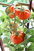 Red tomatoes on a vine