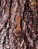 Kreuzkümmel im Holzlöffel auf Baumrinde