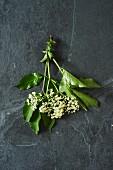 Holunderblütendolde mit Blättern auf grauem Untergrund (Aufsicht)