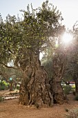 An olive tree in the Garden of Gethsemane, Jerusalem, Israel
