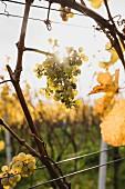Ripe wine grapes backlit