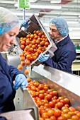Factory workers tipping tomatoes from a crate onto a conveyor belt for checking