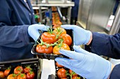 Workers packing tomatoes on a production line in a factory