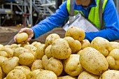 A quality control worker checking potatoes in a factory