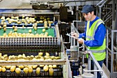A quality control worker checking potatoes on a production line in a factory