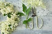 Holunderblüten und Schere für einen Kranz aus Holunderblüten