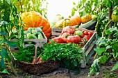 Verschiedene Gemüsesorten in Steigen und Korb im Gewächshaus