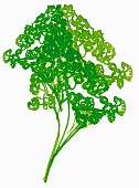 Parsley (illustration)