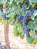 Red wine grapes on a vine at a vineyard in Stellenbosch, South Africa