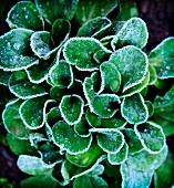 Lambs lettuce covered with frost