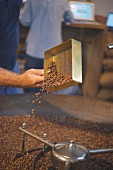 Coffee beans being checked in a roasting drum, the roasting house and cafe 'The Barn' in Berlin