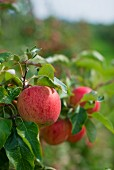 Reife rote Äpfel am Baum