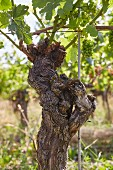 An old vine of grapes