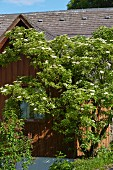 Flowering elder next to wooden house