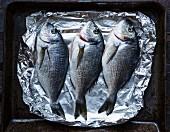 Drei rohe Meerbrassen auf Alufolie und Ofenblech (Aufsicht)