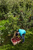 A farmer harvesting apples