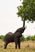 An elephant eating leaves off a tree, Okavango Delta, Botswana