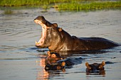 A hippo with babies in the wild, Okavango Delta, Botswana