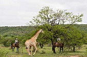 A giraffe and safari guests on horses, Vaalwater, South Africa