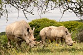 Two rhinos in the wild, Vaalwater, South Africa