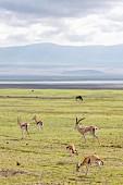 Gazelles in the Ngorongoro crater in the Serengeti, Tanzania, Africa