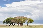 Trees in the Ngorongoro crater in the Serengeti, Tanzania, Africa