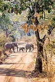 Elephants crossing a road, Zambia, Africa
