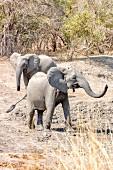 Elephants in the wild, Zambia, Africa