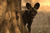 An African wild dog, Zimbabwe, Africa