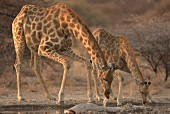 Giraffes drinking at a watering hole, Africa