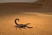 A black scorpion in the desert sand, Africa