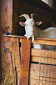 A goat in a stall at Vulkanhof, Eifel, Germany