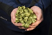 Hands holding hops umbers