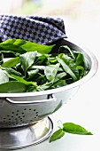Fresh wild garlic in a colander for washing on a white surface
