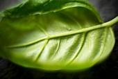 A close up of a basil leaf