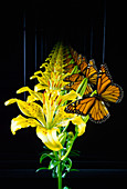 Infinite images of butterfly and lily