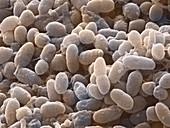 Acetobacter bacteria,SEM