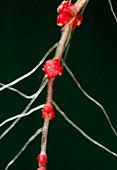 Black alder root nodules