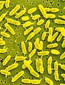Extremophile bacteria,Acidiphilium