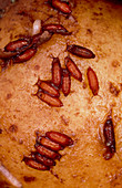 Larvae and pupae of fruit fly on potato