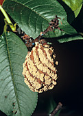 Nectarine 'Nectared 4' with brown rot