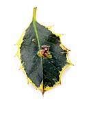 Holly leaf miner