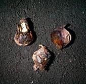 Onion neck rot