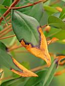 Damaged privet leaf